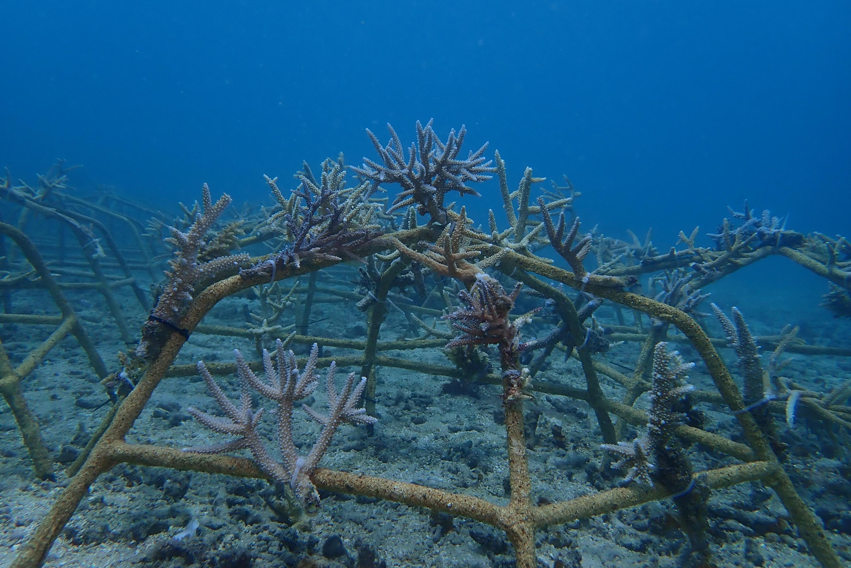 Kiabu Reef Restoration A055